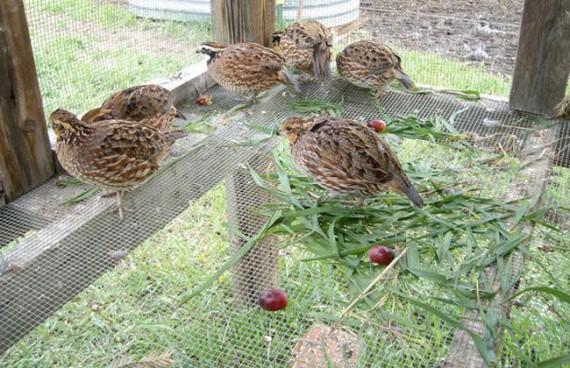 Чем кормить птенцов куропаток в домашних условиях