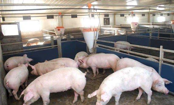 ?Выращивание свиней